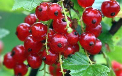Distribution de petits fruitiers au potager collectif