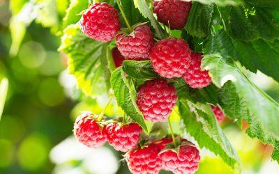 (Français) Distribution gratuite d'arbustes « petits fruitiers » le dimanche 29 novembre 2020 dès 10h à Labliau (Place)