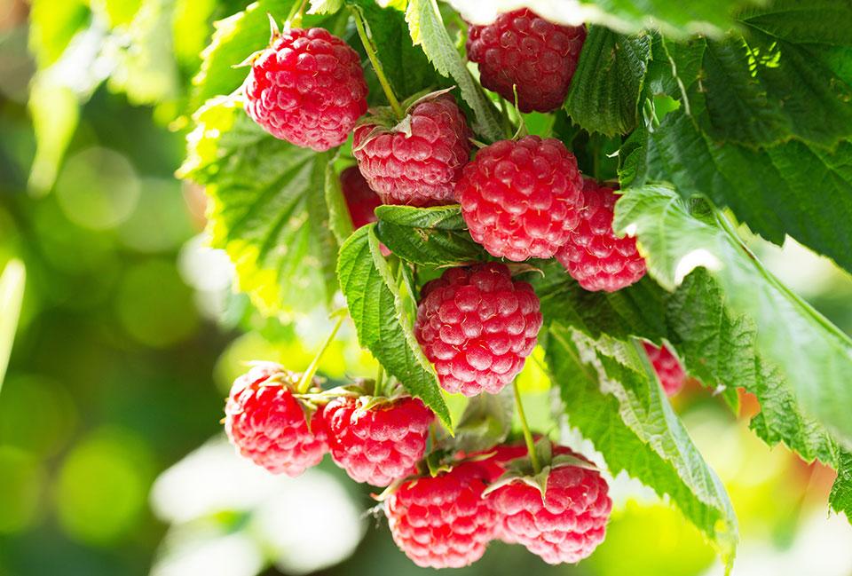 Distribution gratuite d'arbustes « petits fruitiers » le dimanche 29 novembre 2020 dès 10h à Labliau (Place)