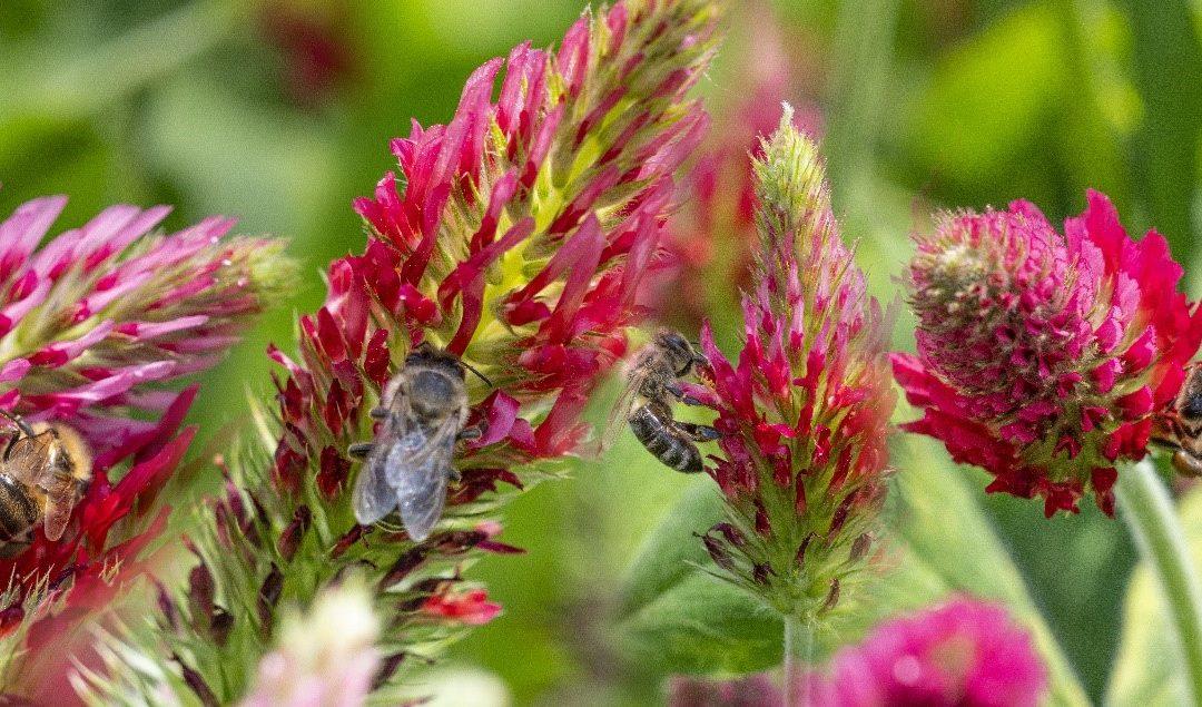 Je sème pour les pollinisateurs!